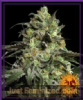 Barneys Farm Peyote Cookies Female 5 Ganja Seeds